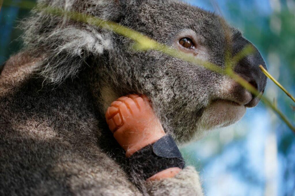 Un koala avec une prothèse.