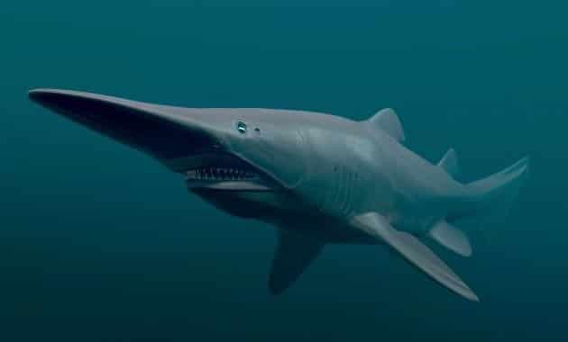 Requin-lutin ou requin gobelin.