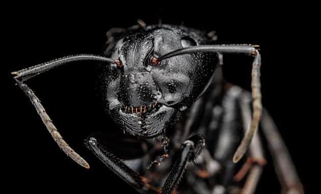 Dents de fourmis.