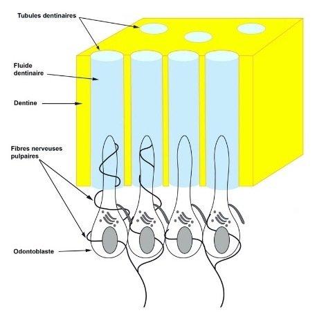 cComplexe dentino-pulpaire